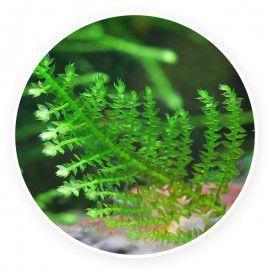 Erect moss - Vesicularia reticulata Kubek 5cm