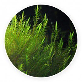 Quell Willow moss - Fontinalis hypnoides Kubek 5cm