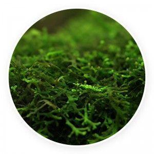 Pelia - Monosolenium tenerum