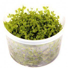 Micranthemum 'monte carlo' In-Vitro 10cm