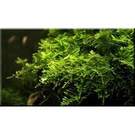 Christmas moss - Vesicularia montagnei