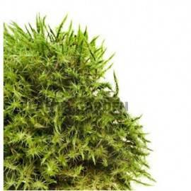 Giant moss - Taxiphyllum sp.