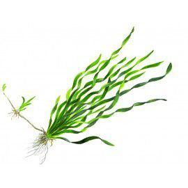 Vallisneria asiatica [sadzonka]