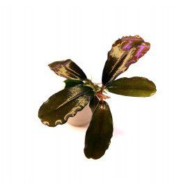 Bucephalandra FREYA [sadzonka]