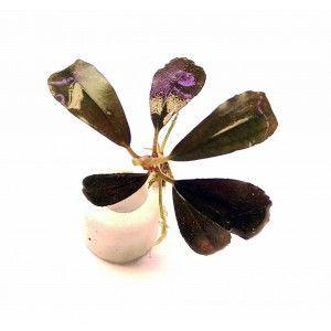 Bucephalandra RAINBOW FROST [sadzonka]