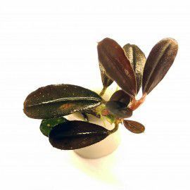 Bucephalandra BLACK PEARL [sadzonka]