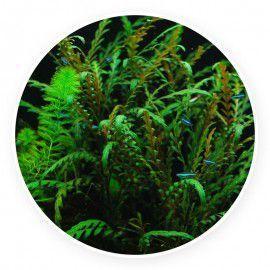 Hygrophila pinnatifida - mała sadzonka