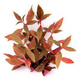 Alternanthera reineckii rosanervig RED RUBY [sadzonka]