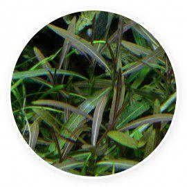 Hygrophila Araguaia [sadzonka]