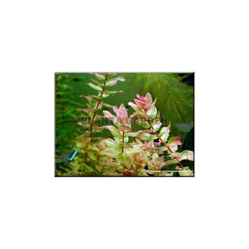 rotala macrandra green rośliny akwariowe