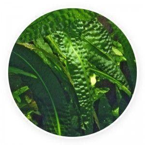 Aponogeton boivinianus [sadzonka]