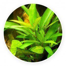 Hygrophila salicifolia [sadzonka]