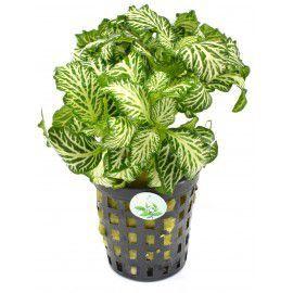 Fittonia green [koszyk]