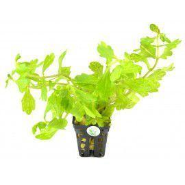 Shinnersia yellow - green [koszyk]