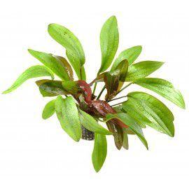 Echinodorus rubin [koszyk]