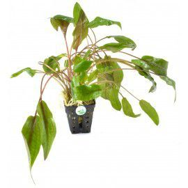 Cryptocoryne species red [koszyk]
