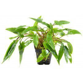Cryptocoryne species green [koszyk]