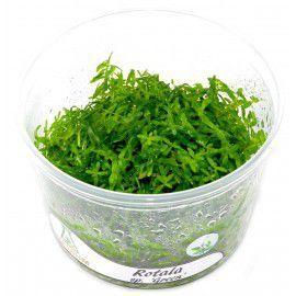 Rotala sp. green [In-Vitro]