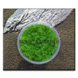 BACOPA MYRIOPHYLLOIDES - KUBEK 10cm