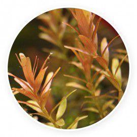 Rotala rotundifolia red [pęczek 20 szt]