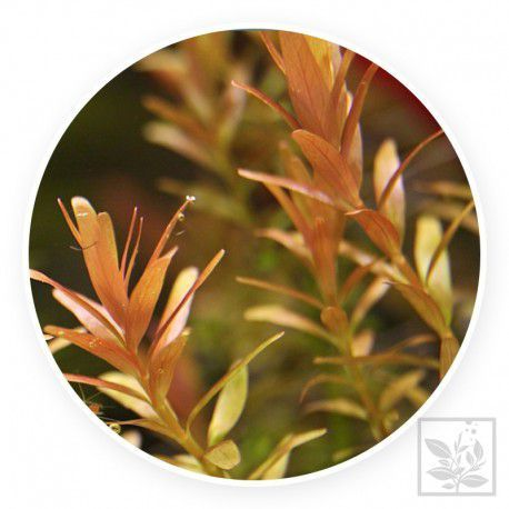 Rotala rotundifolia 'red' [sadzonka]