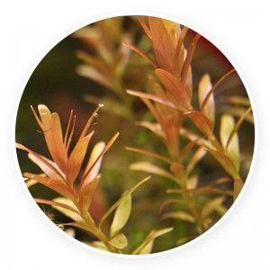 Rotala rotundifolia red [pęczek 10 szt]