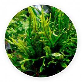 Microsorum fork leaf [sadzonka]