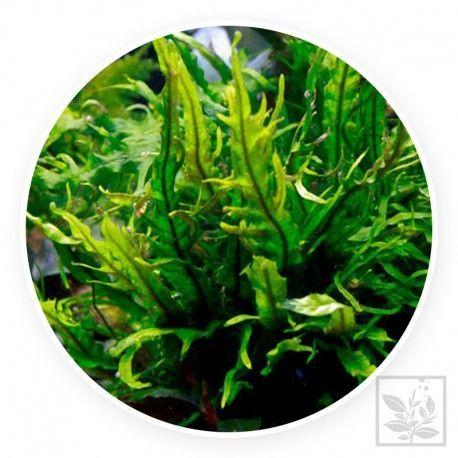 Microsorum pteropus trident [sadzonka]