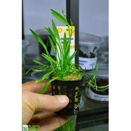 Echinodorus tenellus [koszyk]