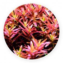 Rotala rotundifolia 'indica' [10 sadzonek]
