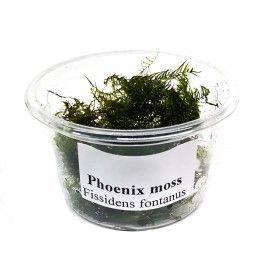 Phoenix moss - porcja w pudełku