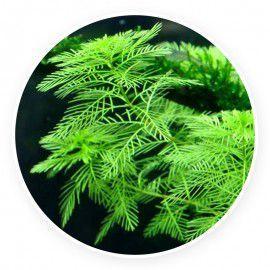 Myriophyllum mattogrossense [10 sadzonek]