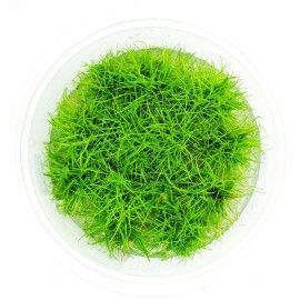 Eleocharis parvula In-Vitro XL