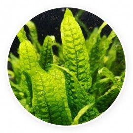 Microsorum sp. India [sadzonka]