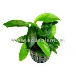 Anubias coin leaf [koszyk]
