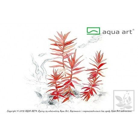 Ammania gracilis Aqua Art