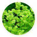 Micranthemum umbrosum [10 sadzonek]