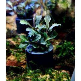 Bucephalandra sp. mix