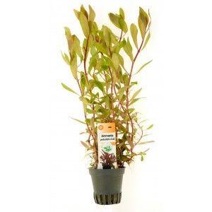 Ammania (Nesea) pedicellata Gold [koszyk]