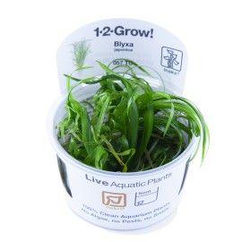 Blyxa japonica 1-2 Grow Tropica