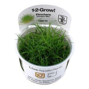 Eleocharis acicularis 'Mini' 1-2 Grow Tropica