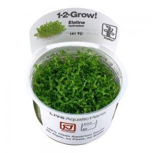Elatine hydropiper 1-2 Grow Tropica