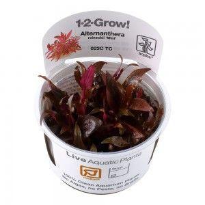 Alternanthera reineckii 'Mini' 1-2 Grow Tropica