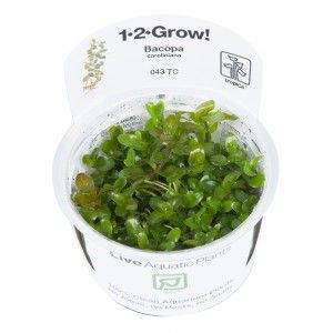 Bacopa caroliniana 1-2 Grow Tropica