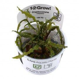 Cryptocoryne crispatula (balansae) 1-2 Grow Tropica