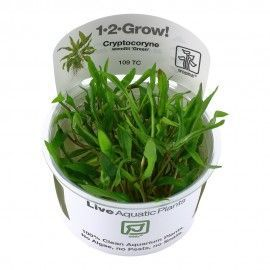 Cryptocoryne wendtii 'Green' 1-2 Grow Tropica