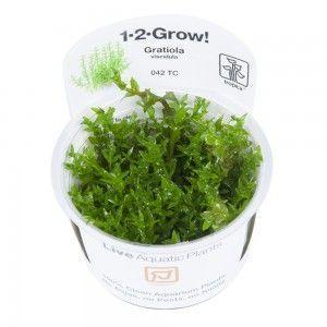 Gratiola viscidula 1-2 Grow Tropica
