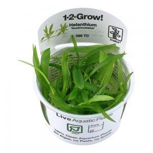 Helanthium bolivianum 'Quadricostatus' 1-2 Grow Tropica