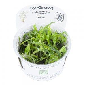 Heteranthera zosterifolia 1-2 Grow Tropica
