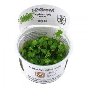 Hydrocotyle tripartita japan 1-2 Grow Tropica